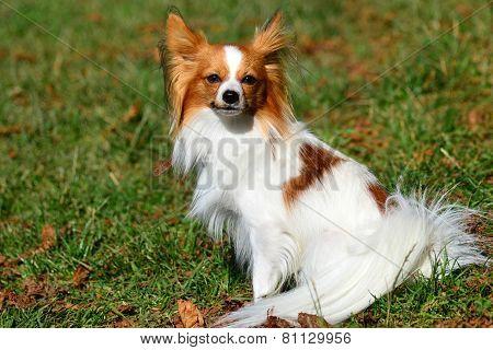 Beatiful Chihuahua.