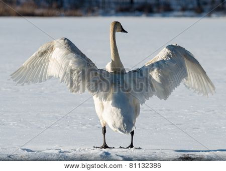 Tundra Swan Spreads Its Wings