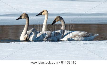 Four Tundra Swans
