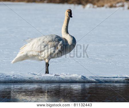 Staring Tundra Swan