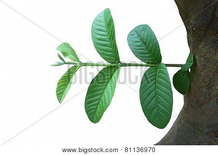 Psidium Guajava Leaf