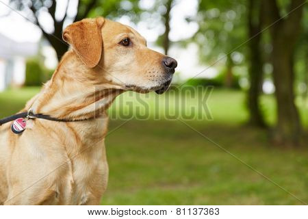 Labrador Retriever with dog tag in a garden