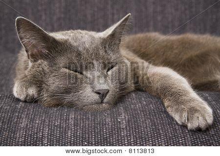 Sleepy Gray Cat