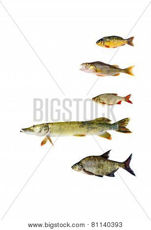 Various Freshwater Fish Isolated On White