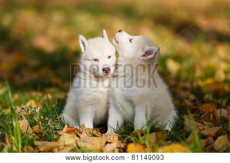 Two Husky Puppy