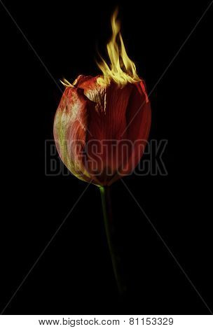 Burning tulip