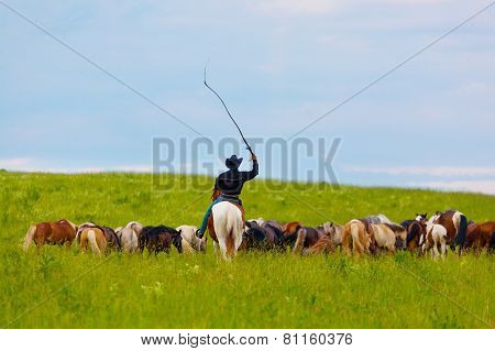 cowboy on horse drives herd of horses