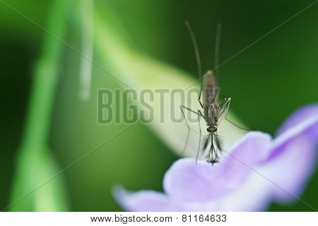 male mosquito on the flower
