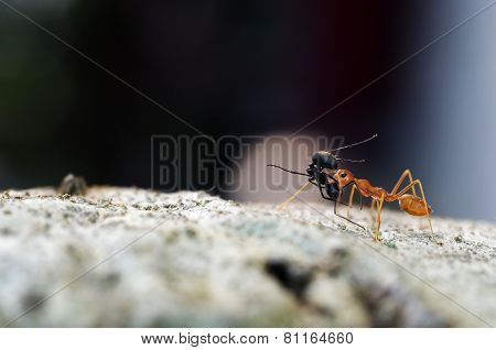 weaver ant carry the prey