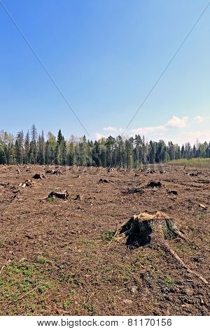 Forest Glade After The Felling Of Trees