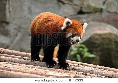 Red panda in alert pose