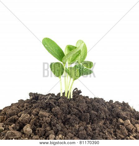 Young Plants Growing  On Soil Against White