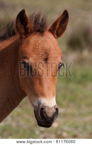 portrait of a chestnut foal