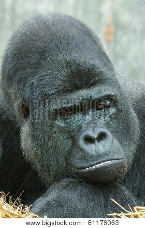 male silver back gorilla