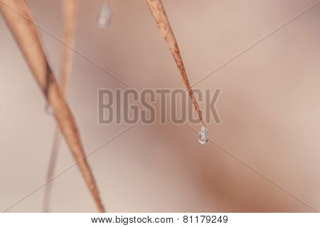 Water Drop On A Staw