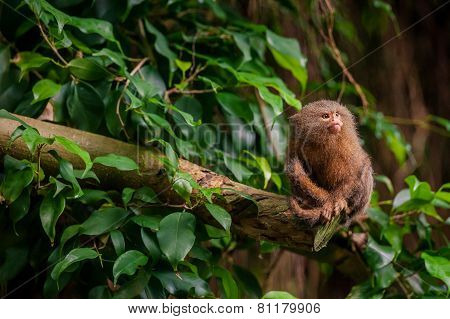 Pygmy Marmoset Ape In The Jungle