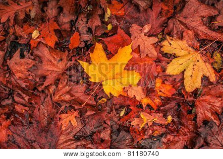 Autumn Maple In Warm Colors
