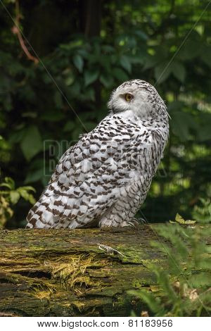 portrait  White snow owl siting on tree - open eyes