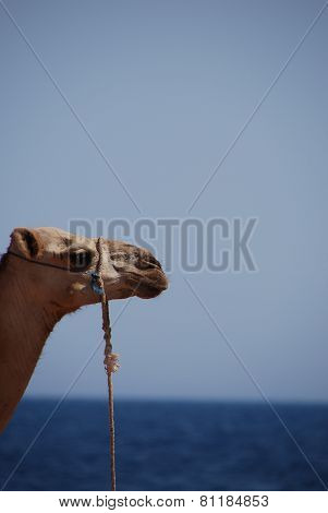 Camel On The Sea Left
