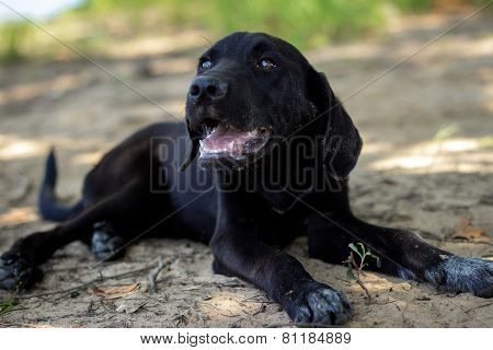 Black Lab Puppy Panting