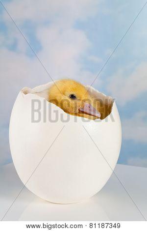 Cute easter duckling hiding inside a big ostrich egg