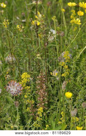 Machair Grassland Flowers