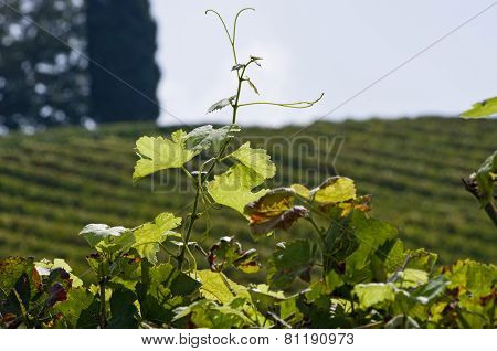 Isolated Wineyard Leafs