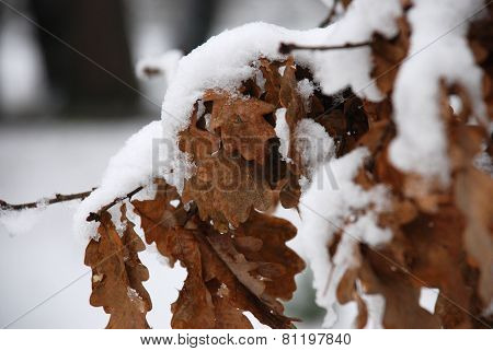 Oak leaves in the snow