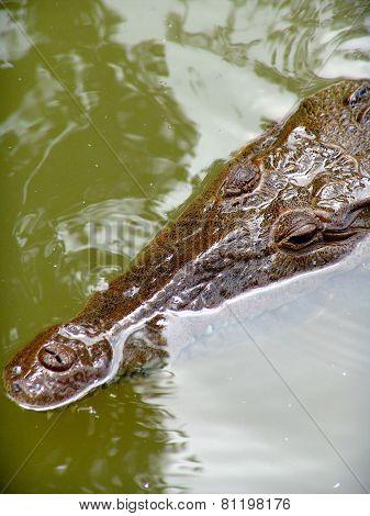 Crocodile Black River In The Water