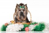 pic of yorkshire terrier  - Yorkshire terrier in wicker basket sitting with Christmas garland - JPG