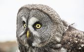 picture of screech-owl  - a portrait of an eagle hawk owl in portrait - JPG