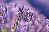 stock photo of lavender field  - detail of lavender on lavender field - JPG