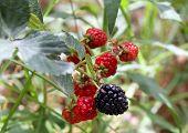 pic of blackberries  - Blackberries on a branch in the garden - JPG
