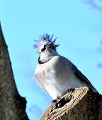picture of blue jay  - Blue jay sitting in a tree in a backyard - JPG
