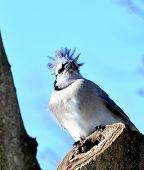 stock photo of blue jay  - Blue jay sitting in a tree in a backyard - JPG