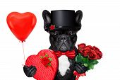picture of dog-rose  - valentines french bulldog dog holding a present of pralines bunch of red roses and a balloon isolated on white background - JPG