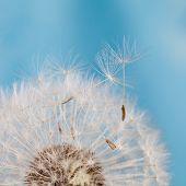 stock photo of dandelion seed  - Dandelion with seeds - JPG