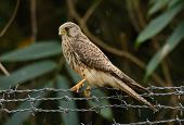 picture of bird fence  - beautiful female Common Kestrel  - JPG