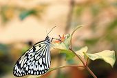 picture of nymphs  - Large Tree Nymphs butterfly and flower,a beautiful butterfly on the flower in garden,Paper Kite butterfly,Rice Paper butterfly