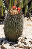 foto of semi-arid  - Cacti are unusual and distinctive plants which are adapted to extremely arid and semi - JPG