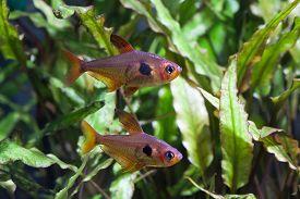 stock photo of freshwater fish  - Aquarium fish. Rosy Tetra. Nature tank. Freshwater tank. A green beautiful planted freshwater aquarium with Tetra fishes. (macro soft focus). ** Note: Shallow depth of field - JPG
