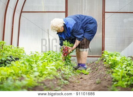 Adult woman harvests in the greenhouse