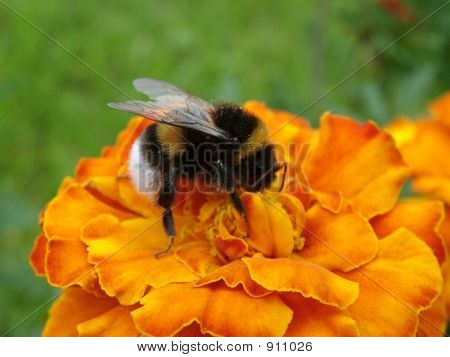 Bumblebee On An Orange Flower