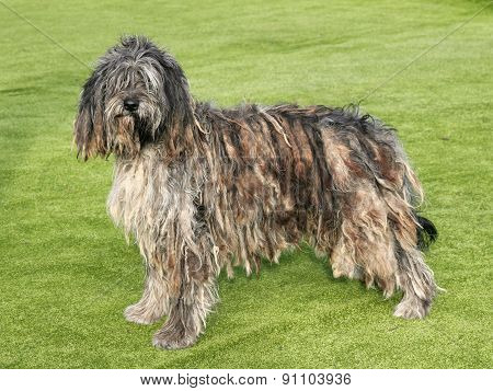The Portrait Of Bergamasco Shepherd Dog