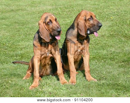 The Portrait Of Pair Of Bloodhound Dogs