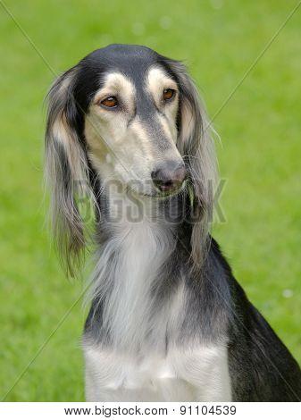 The Portrait Of Saluki Dog