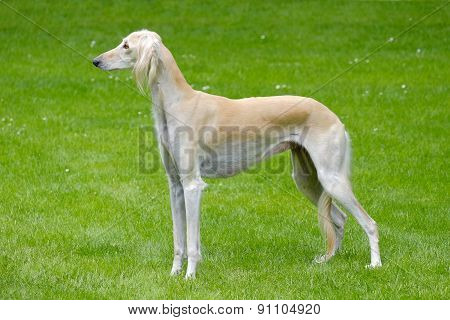 The Portrait Of Saluki Dog