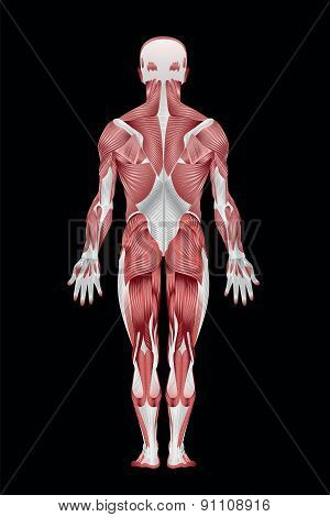 Human Muscular System back - Illustration