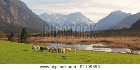 Idyllic Scenery With Grazing Sheeps, Bogland And The Alps