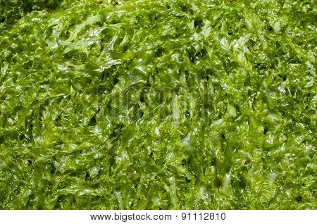 Green Wet Algae Cystoseira